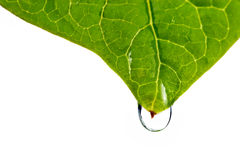 Damp leaf with drop of water Royalty Free Stock Photos