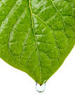 Damp leaf with drop of water Royalty Free Stock Images