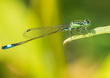 Damsel With The Blue Tail Royalty Free Stock Photos
