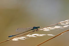 Damsel dragonfly. Backlit strand of wild grass with damsel dragonfly Stock Photos