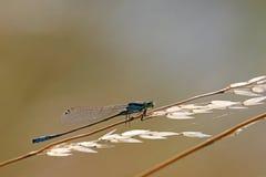 Damsel dragonfly Stock Photos