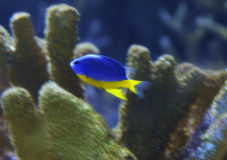 Damsel Fish. Azure Damsel fish, Chrysiptera hemicyanea, swimming near coral Royalty Free Stock Photo
