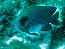 Damsel fish. Protecting nest of damsel babies Royalty Free Stock Photo