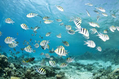 Damsel fish on coral reef Royalty Free Stock Photos