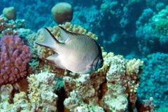 Damsel-Fish (leucogaster del amblyglyphidodon) Immagini Stock