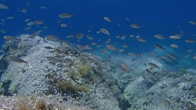 Damsel fish. Shoal of Damsel Fish swimming underwater stock video footage