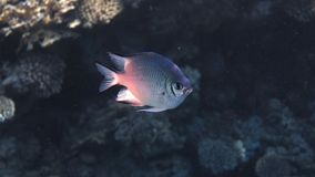 Damsel Fish. Underwater photo of a White Belly Damsel Fish, Red Sea, Egypt Stock Photo