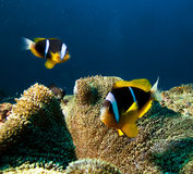 Damsel fishes. And anemone, Indian ocean Stock Photo