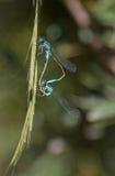 Damsel Flies mating Royalty Free Stock Photo