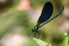 Damsel-fly. On a leaf royalty free stock photo