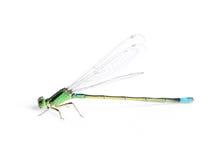 Damsel-fly Fotografía de archivo libre de regalías