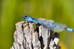 Damsel Fly. Closeup Macro shot of a damsel fly on wood Royalty Free Stock Image