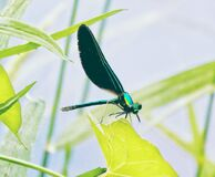 Damsel fly Royalty Free Stock Photography