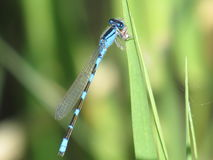 Damsel fly. Eating Stock Photography