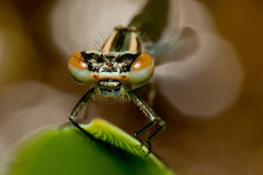 Damsel fly eyes Stock Image