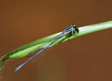Damsel fly on leaf Royalty Free Stock Image