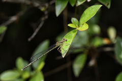 Damsel fly on a leaf Royalty Free Stock Photos