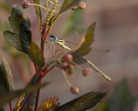 Damsel Fly perched on a Nine Bark plant Royalty Free Stock Photo