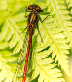 Damsel fly Stock Image