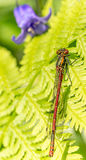 Damsel fly. Resting on a fern macro shot Stock Image