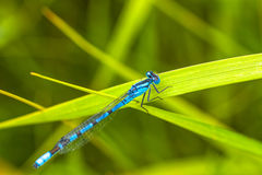 Damsel Fly Resting on Grass. Macro of a blue damsel fly resting a a green blade of grass Royalty Free Stock Image