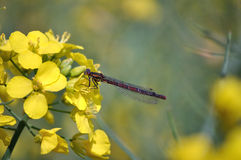 Damsel fly on yellow flower Royalty Free Stock Photos