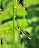 damsel komarnica Obraz Royalty Free