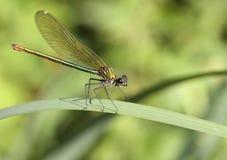 damsel komarnica obraz stock