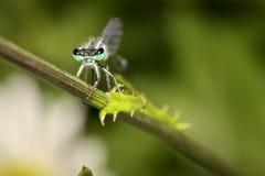 Damsel komarnica Fotografia Stock