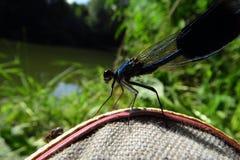 Damsel komarnica na bucie Obrazy Royalty Free