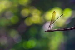Damsel komarnica na gałązce Zdjęcia Stock