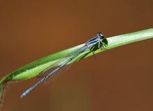 Damsel komarnica na liściu Obraz Royalty Free