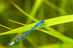 Damsel komarnica Odpoczywa na trawie Obraz Royalty Free