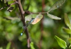 Damsel komarnica przy odpoczynkiem Zdjęcia Stock