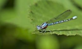 Damsel komarnica z wodnymi lądzieniec Zdjęcia Stock
