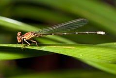 Damsel komarnica (Zygoptera) Zdjęcie Stock
