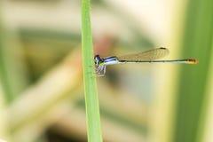 damsel komarnicy Fotografia Royalty Free
