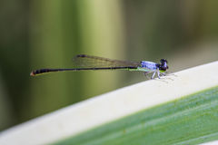 damsel komarnicy Zdjęcie Royalty Free