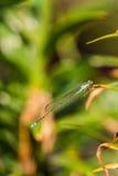 damsel komarnicy Obrazy Royalty Free