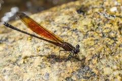 damsel komarnicy Zdjęcie Stock