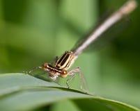 damsel komarnicy głowy wizerunku macro Fotografia Royalty Free
