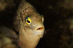 Damsel (nigriscans Stegastes) Стоковая Фотография RF