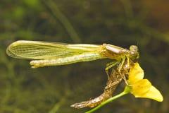damsel wyłania się komarnica Fotografia Stock