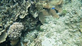 Damselfish голубого дьявола в Тихом океане Стоковое Изображение RF