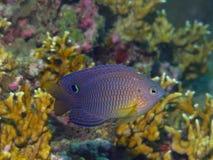 damselfish Стоковое Фото