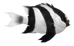 притворство damselfish Стоковое фото RF