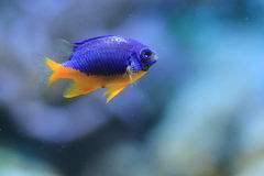 Damselfish Azure fotografia de stock