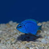 Damselfish bleu Photos libres de droits