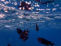 Damselfish bleu d'aileron Image libre de droits