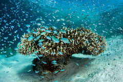 Damselfish and Coral Royalty Free Stock Photography